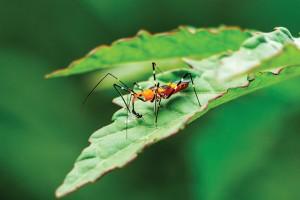 Milkweed Assassin Bug (zelus Longipes) Feeding On Small Insect, Closeup Davie, Florida, Usa