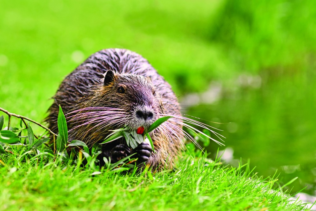 Rodent Called 'myocastor Coypus', Commonly Known As 'nutria' Eating A Plant Branch With Large Yellow Teeth
